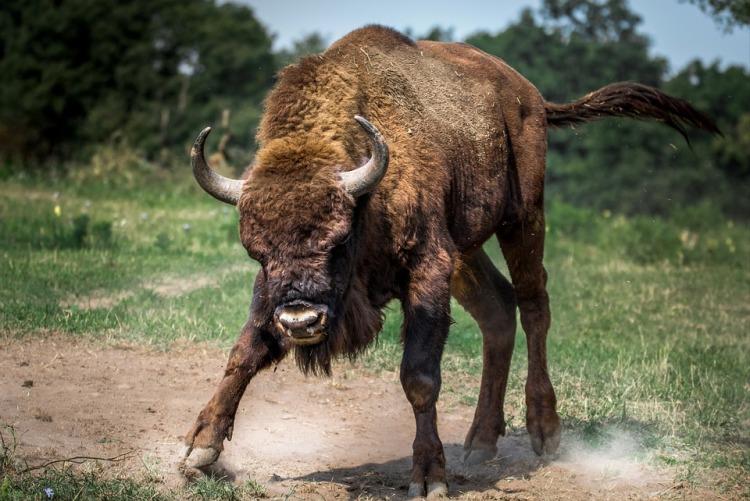 bison-european-2118538_960_720.jpg