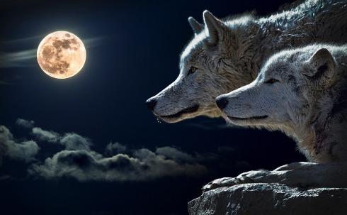 wolf-547203_960_720.jpg
